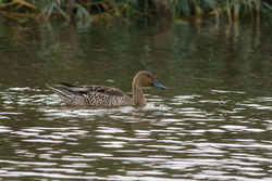 Pintail photographed at Rue des Bergers [BER] on 13/9/2014. Photo: © Rod Ferbrache