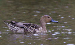 Pintail photographed at Rue des Bergers [BER] on 13/9/2014. Photo: © Anthony Loaring