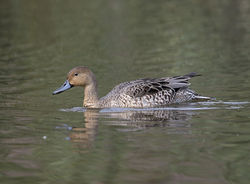 Pintail photographed at Rue des Bergers [BER] on 15/9/2014. Photo: © Mike Cunningham