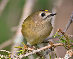 Goldcrest photographed at St Peter Port [SPP] on 15/9/2014. Photo: © Mike Cunningham