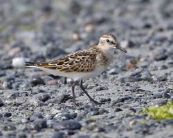 Little Stint photographed at L'Eree [LER] on 17/9/2014. Photo: © Mike Cunningham