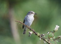 Spotted Flycatcher photographed at Fort Hommet [HOM] on 19/9/2014. Photo: © Royston Carr�
