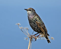 Starling photographed at Fort Hommet [HOM] on 19/9/2014. Photo: © Mike Cunningham