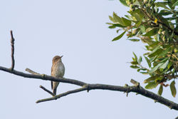 Spotted Flycatcher photographed at Bordeaux [BOR] on 20/9/2014. Photo: © Rod Ferbrache