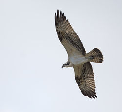 Osprey photographed at Vale Pond [VAL] on 22/9/2014. Photo: © Mike Cunningham