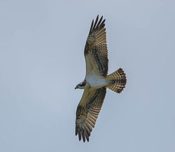 Osprey photographed at Vale Pond [VAL] on 22/9/2014. Photo: © Royston Carr�