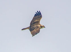 Osprey photographed at Pleinmont [PLE] on 23/9/2014. Photo: © Royston Carr�