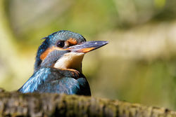 Kingfisher photographed at Reservoir [RES] on 19/9/2014. Photo: © steve levrier
