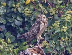 Short-eared Owl photographed at Paradis Quarry on 23/9/2014. Photo: © Anthony Loaring