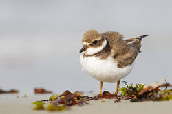 Ringed Plover photographed at L'Eree [LER] on 13/9/2014. Photo: © steve levrier