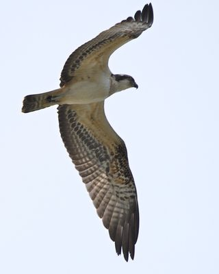 Osprey photographed at Vale Pond [VAL] on 24/9/2014. Photo: © Cindy  Carre