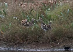 Snipe photographed at Claire Mare [CLA] on 29/9/2014. Photo: © Cindy  Carre