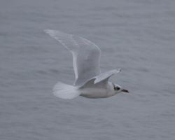 Mediterranean Gull photographed at Cobo [COB] on 29/9/2014. Photo: © Cindy  Carre