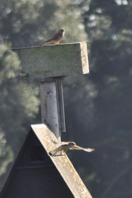 Kestrel photographed at Vale Pond [VAL] on 30/9/2014. Photo: © berni kerrigan