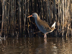 Water Rail photographed at Claire Mare [CLA] on 30/9/2014. Photo: © Mike Cunningham
