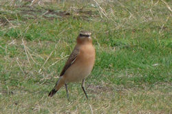 Wheatear photographed at fort doyle on 7/9/2014. Photo: © berni kerrigan