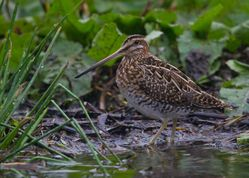 Snipe photographed at Rue des Bergers [BER] on 6/10/2014. Photo: © Dan Scott