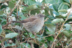 Dunnock photographed at la claire mare on 7/10/2014. Photo: © berni kerrigan