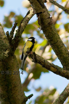 Great Tit photographed at Rue des Bergers [BER] on 10/10/2014. Photo: © J Friend