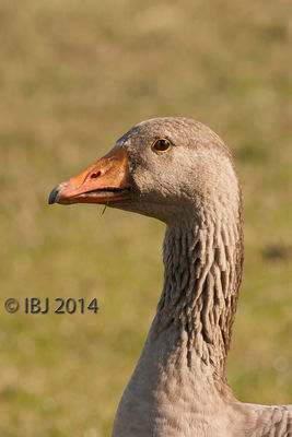 Greylag Goose photographed at Colin Best NR [CNR] on 10/10/2014. Photo: © J Friend