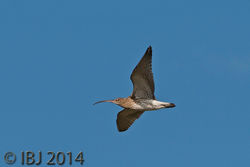 Curlew photographed at Colin Best NR [CNR] on 10/10/2014. Photo: © J Friend