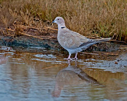 Collared Dove photographed at La Claire Mare on 10/10/2014. Photo: © Mike Cunningham
