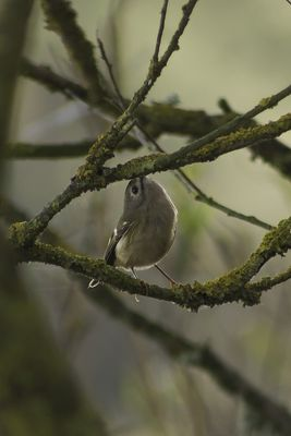 Goldcrest photographed at Reservoir [RES] on 11/10/2014. Photo: © J Friend