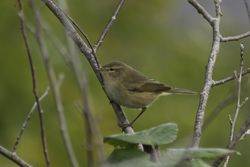 Chiffchaff photographed at Reservoir [RES] on 11/10/2014. Photo: © J Friend