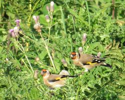 Goldfinch photographed at Alderney [ALD] on 10/10/2014. Photo: © Wayne Turner