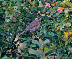 Redwing photographed at Rue des Bergers [BER] on 16/10/2014. Photo: © Mike Cunningham
