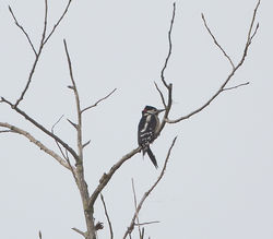 Great Spotted Woodpecker photographed at Rue des Bergers [BER] on 16/10/2014. Photo: © Mike Cunningham