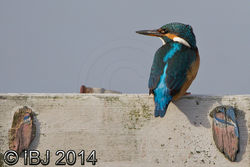 Kingfisher photographed at Claire Mare [CLA] on 19/10/2014. Photo: © J Friend