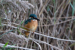 Kingfisher photographed at Claire Mare [CLA] on 20/10/2014. Photo: © J Friend