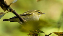 Yellow-browed Warbler photographed at Silbe [SIL] on 26/10/2014. Photo: © Anthony Loaring