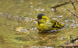 Siskin photographed at Silbe [SIL] on 26/10/2014. Photo: © Anthony Loaring