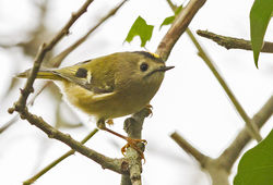 Goldcrest photographed at Silbe [SIL] on 26/10/2014. Photo: © Anthony Loaring
