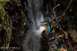 Kingfisher photographed at Petit Bot [BOT] on 23/10/2014. Photo: © J Friend