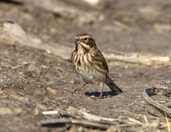 Reed Bunting photographed at Pleinmont [PLE] on 27/10/2014. Photo: © Mike Cunningham