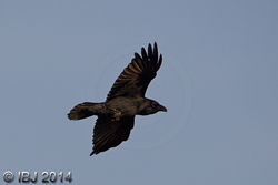 Raven photographed at Mt. Herault [MHE] on 30/10/2014. Photo: © J Friend