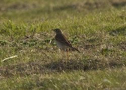 Richard's Pipit photographed at Pleinmont [PLE] on 31/10/2014. Photo: © Cindy  Carre