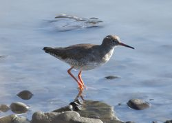 Redshank photographed at Pulias [PUL] on 1/11/2014. Photo: © Cindy  Carre