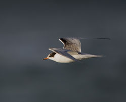 Common Tern photographed at Perelle [PER] on 3/11/2014. Photo: © Mike Cunningham