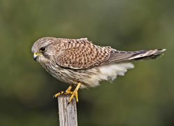 Kestrel photographed at Fort Le Crocq [FLC] on 3/11/2014. Photo: © Mike Cunningham