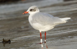 Mediterranean Gull photographed at Cobo [COB] on 5/11/2014. Photo: © Anthony Loaring
