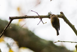 Goldcrest photographed at Saumarez Park [SAU] on 8/11/2014. Photo: © Andy Marquis