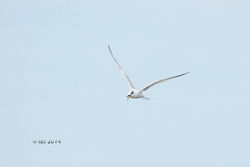 Sandwich Tern photographed at Richmond [RIC] on 10/11/2014. Photo: © J Friend