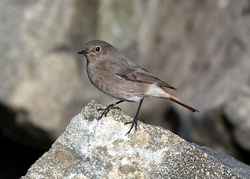 Black Redstart photographed at Fort Doyle [DOY] on 12/11/2014. Photo: © Mike Cunningham