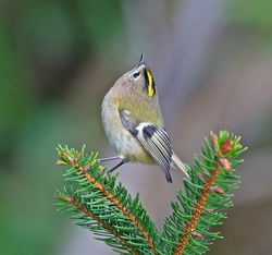 Goldcrest photographed at St Peter Port [SPP] on 15/11/2014. Photo: © Mike Cunningham