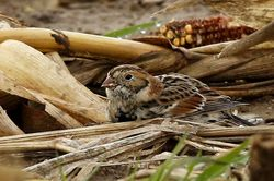 Lapland Bunting photographed at Mt Herault on 15/11/2014. Photo: © Anthony Loaring