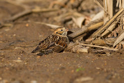 Lapland Bunting photographed at Mont Herault on 16/11/2014. Photo: © Rod Ferbrache